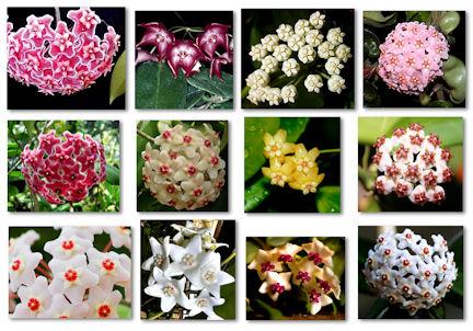 blommor-hoya-resize1