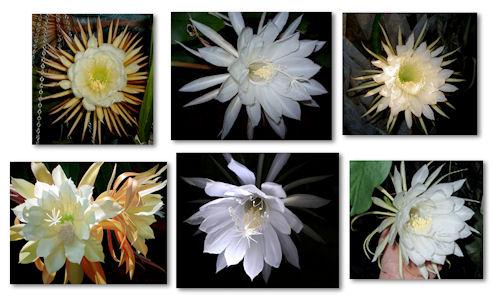 blommor-nattens-drottning-resize1