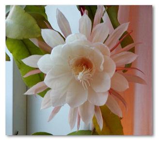 blommor-nattens-prinsessa1