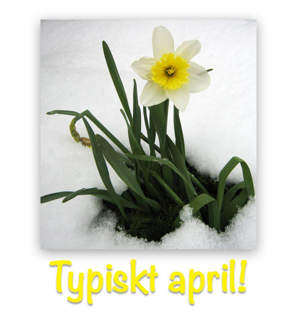 daffodilsnow1