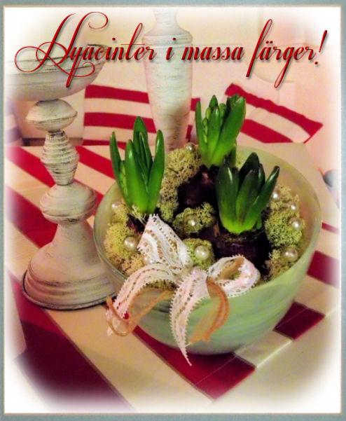 hyacinter1