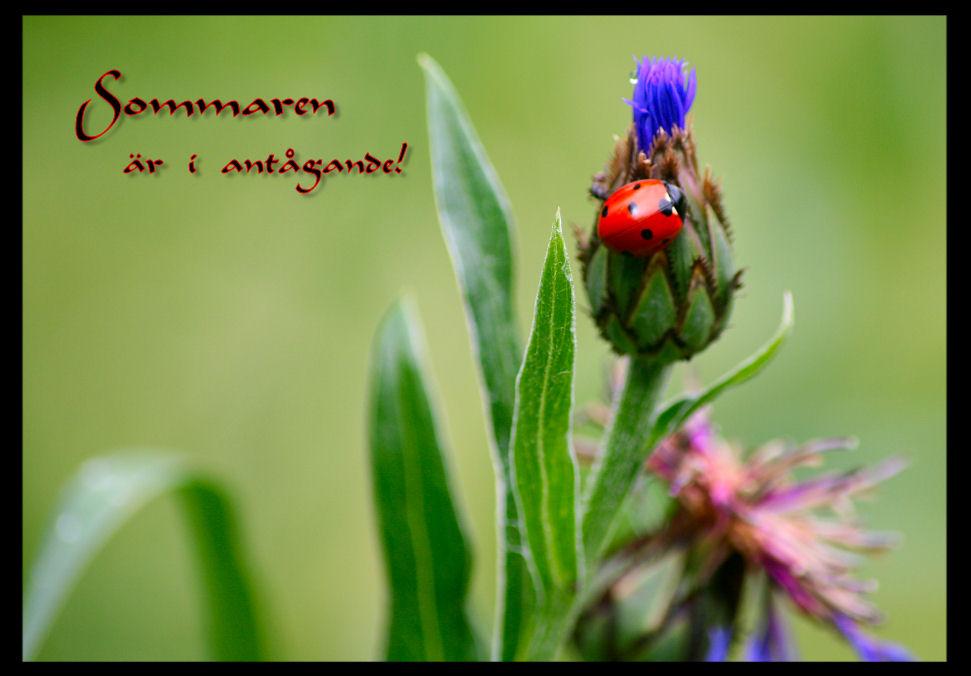 sommarfoto-nyckelpiga1