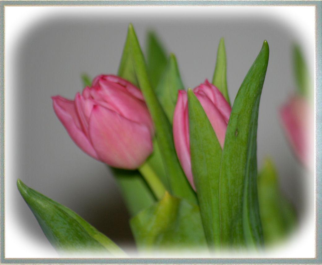 springtulips2