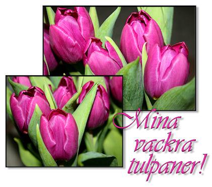 tulpaner1
